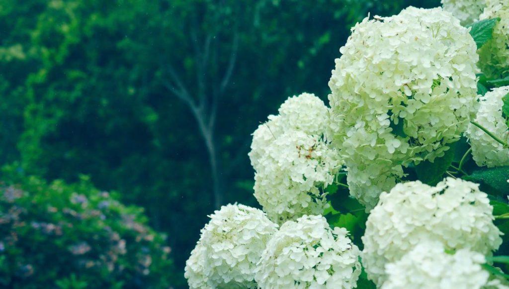 夏の見所はあじさい苑 かしわばあじさい スノーフレーク