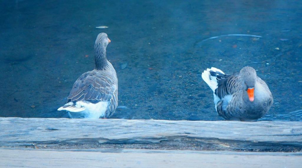 金鱗湖の鴨