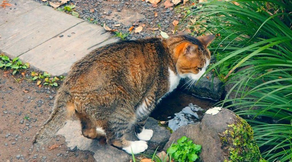 金鱗湖の猫