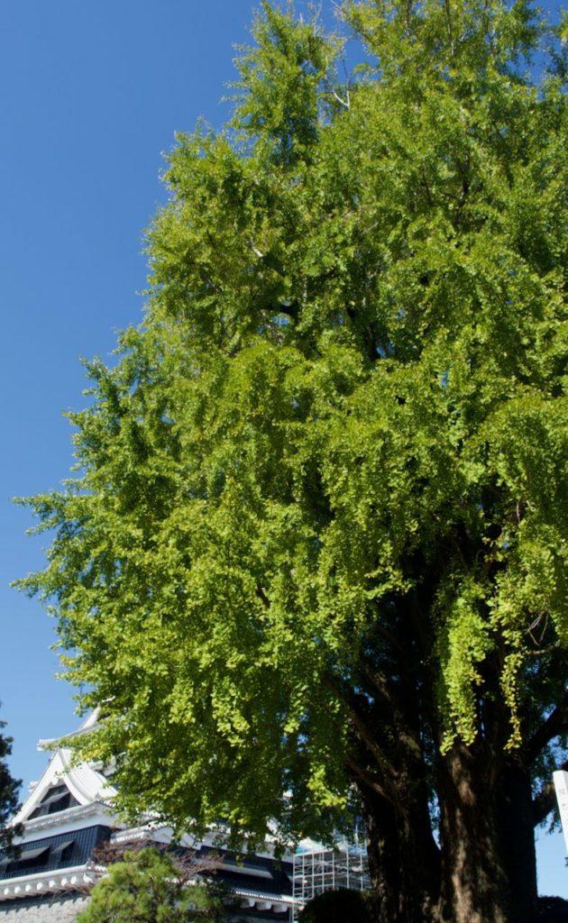 再建途中の熊本城 天守閣と銀杏の木