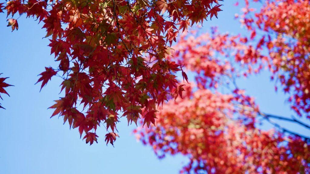 紅葉が見頃