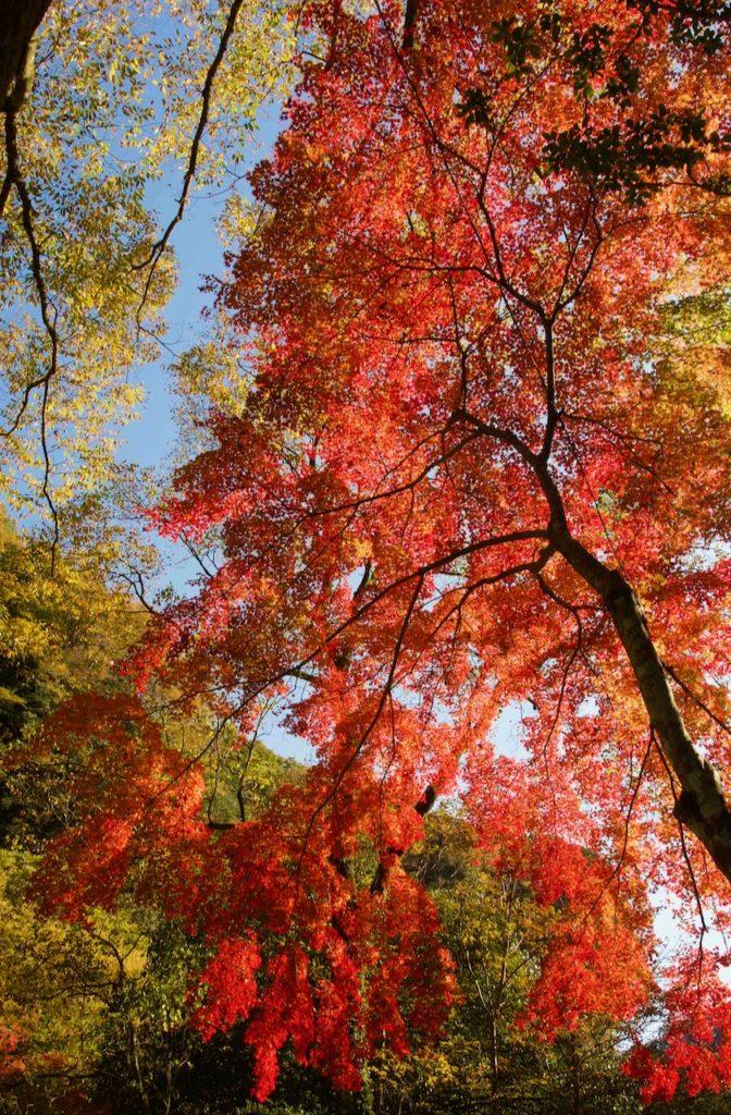 峡谷の紅葉が見頃