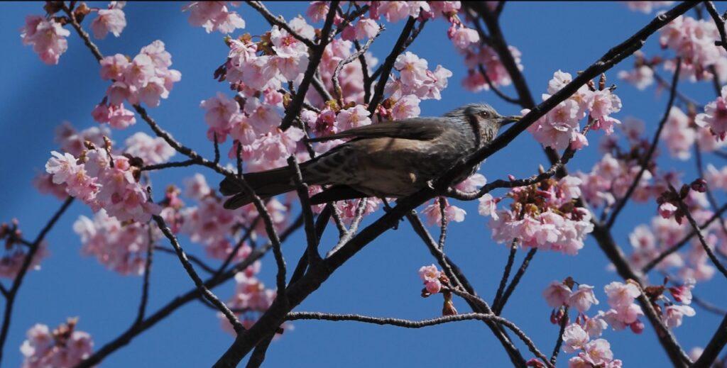 河津桜とヒヨドリの共演
