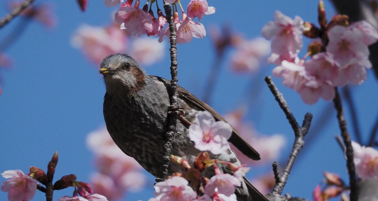 河津桜が見頃になってヒヨドリもやってきた