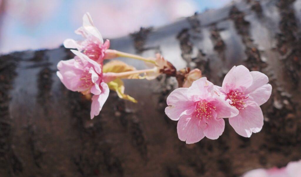 河津桜が見頃になる2月末から3月初め