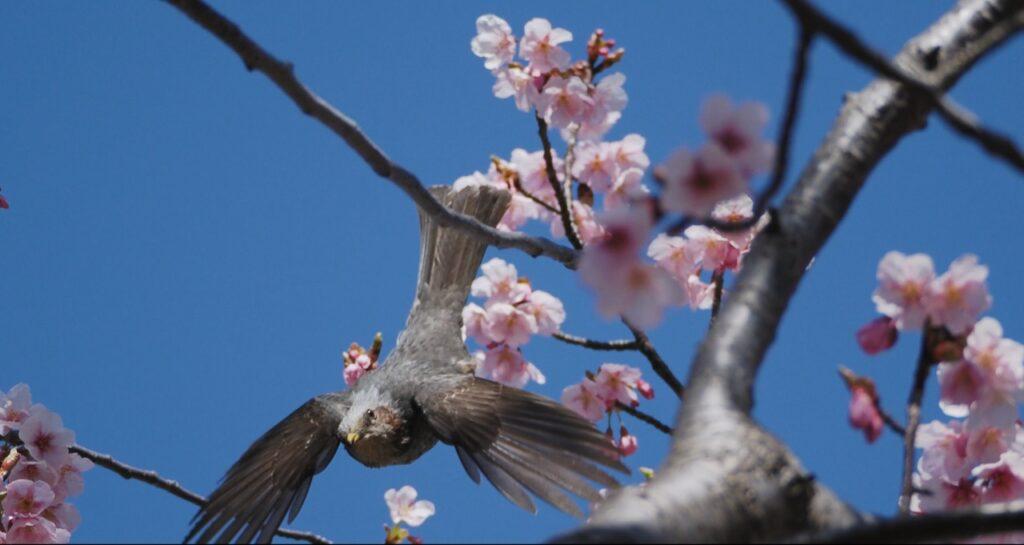 河津桜に集うヒヨドリの撮り方