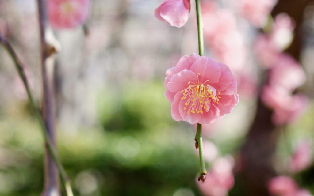 亀戸天神の一押し 紅枝垂れ梅