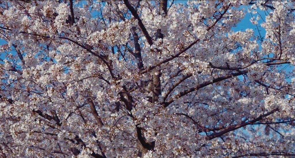 桜のトンネルを歩いてみる