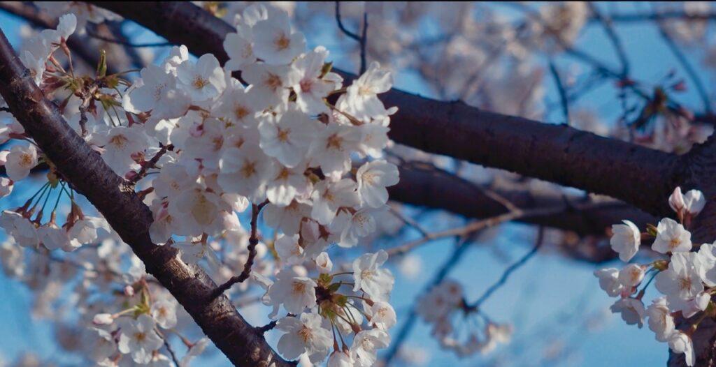 桜の枝の美学