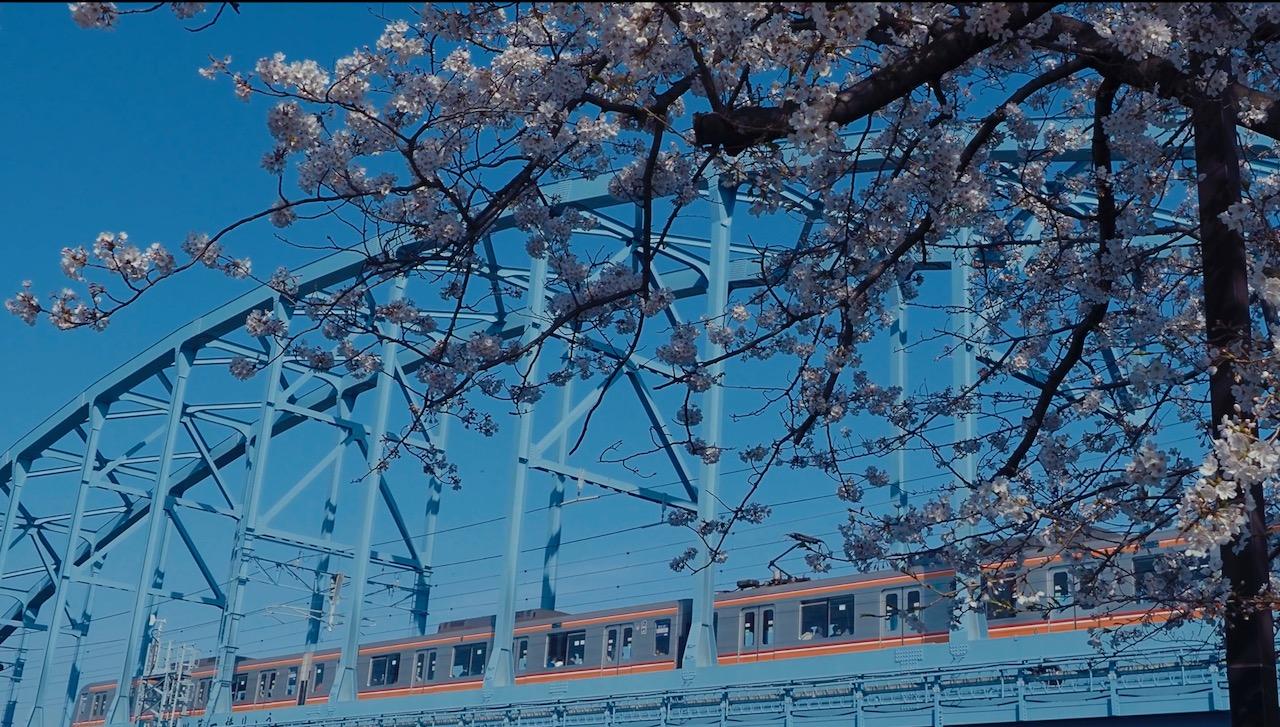 満開の桜と電車と鉄橋と