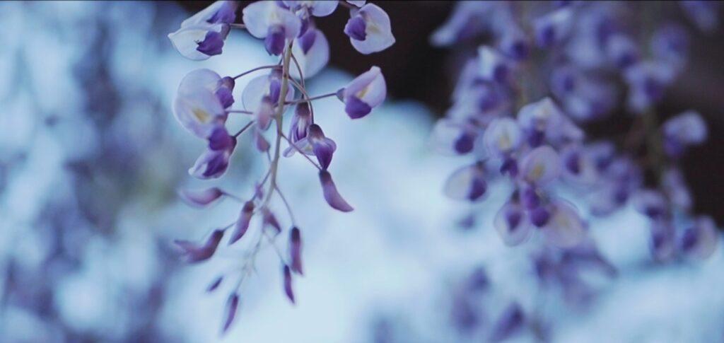 夕暮れ時の藤の花