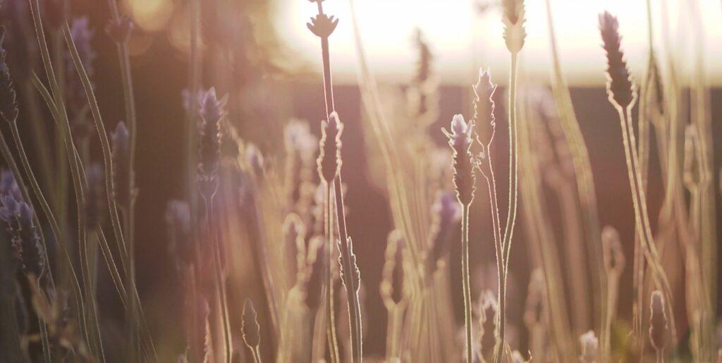 夕陽に輝くラベンダー